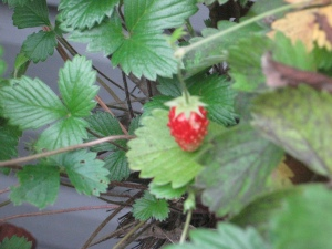 small alpine strawberry