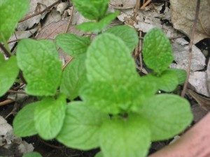 Mentha spicata 'Kentucky Colonel'