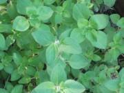 Greek oregano (Origanum vulgare, subsp. hirtum)
