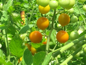 Sungold cherry tomatoes on the vine