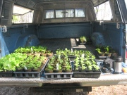 flats of plants on tailgate of truck to be loaded for the farmers' market.