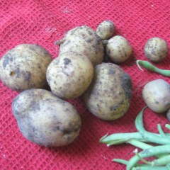 Yukon Gold potatoes still with soil on them