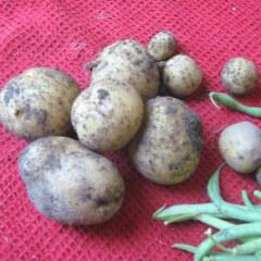 Yukon Gold potatoes still with soil on them