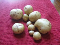 newly dug Yukon Gold potatoes after washing the soil away.