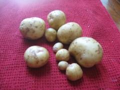 newly dug Yukon Gold potatoes after washing the soil away.