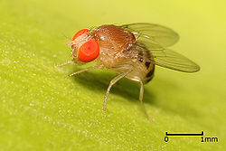 fruit fly (Drosophila sp.)