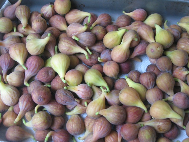 brown turkey figs picked ripe