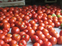 lots of tomatoes laid out on table