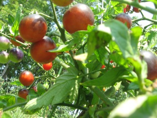 Ripe Indigo Rose tomatoes