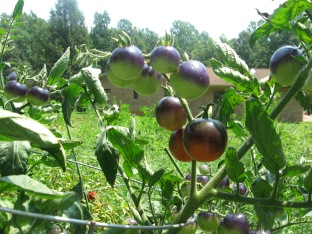 Sprays of unripe Indigo Rose Tomatoes on the vine