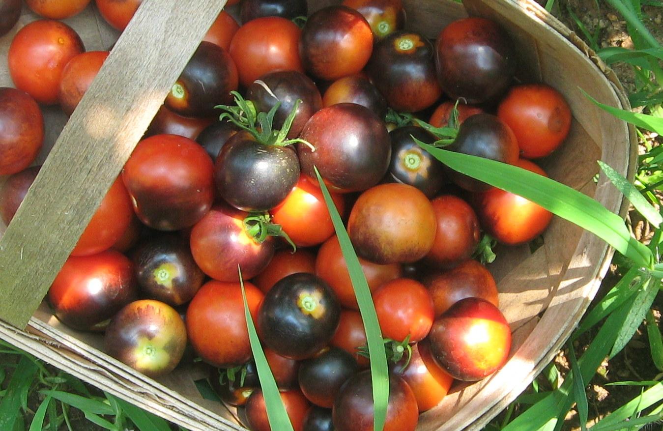 indigo rose tomatoes a single. Black Bedroom Furniture Sets. Home Design Ideas