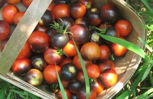 Indigo rose tomatoes in basket after picking