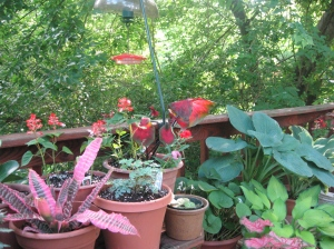 hostas and caladium