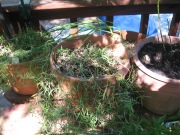 French thyme and French tarragon in small pots