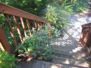pots of sage and oregano on stairs
