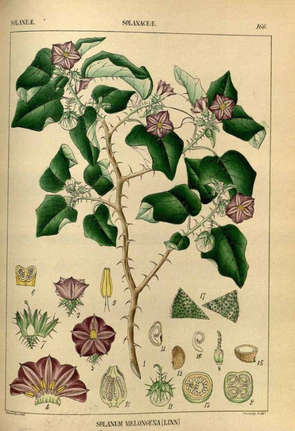 Wight, R., Illustrations of Indian botany, or figures illustrative of each of the natural orders of Indian plants, vol. 2: t. 166 (1850) [Goovindo] (Source: http://plantillustrations.org)