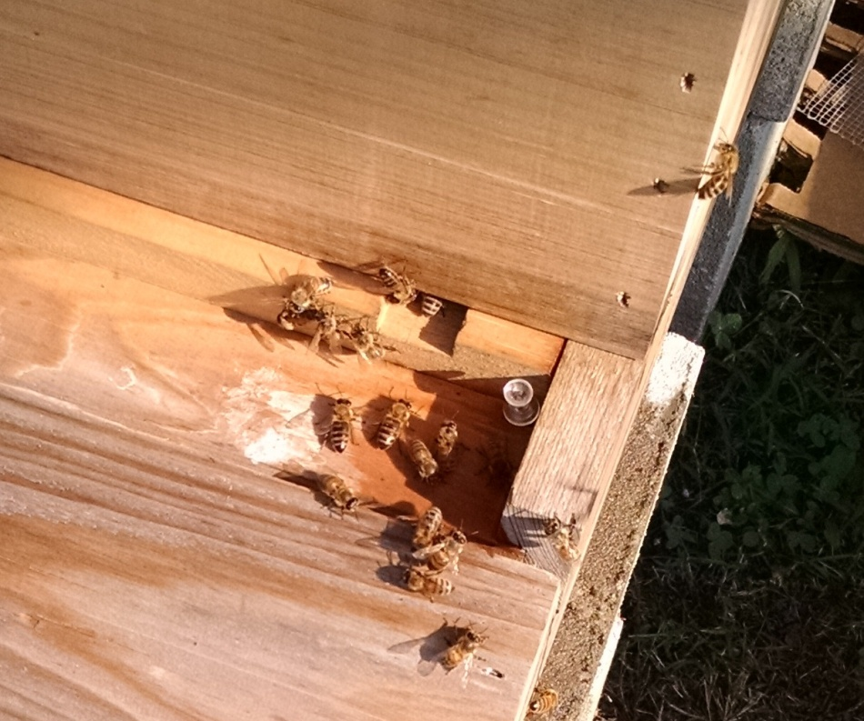 bees on landing board