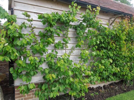 Image of Howard's apricot bushes