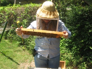 examining frame from bee hive