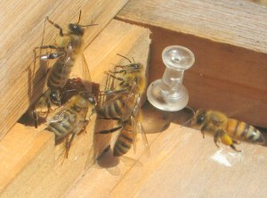 honeybees at hive entrance