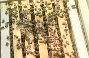 bees on upper super top frames