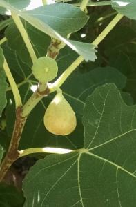 ripening fig
