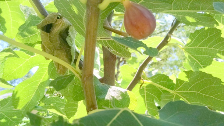 first ripening fig