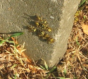 yellowjackets on cement block