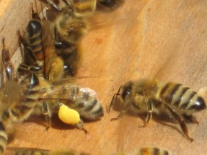 honey bees at hive carrying pollen