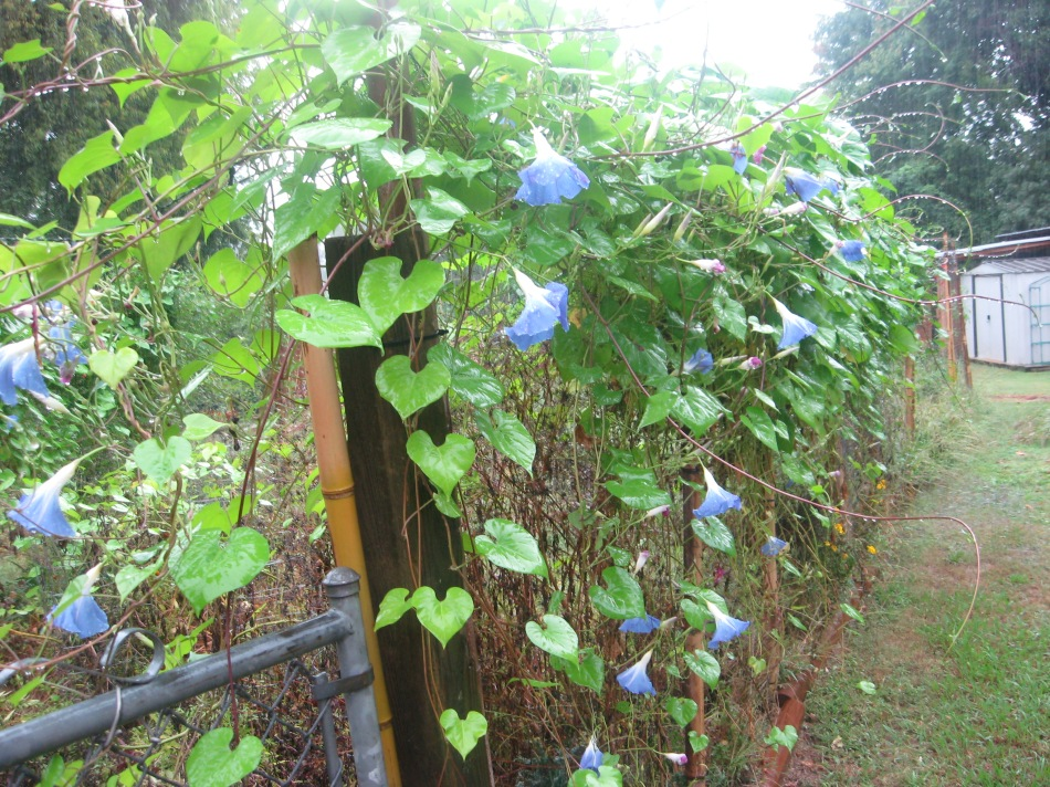 Heavenly Blue morning glories in the rain