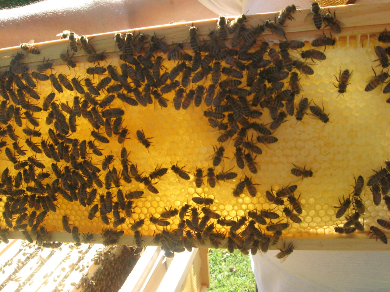 Langstroth fram with honey and bees