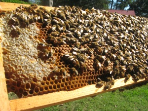 Langstroth frame with capped honey and bees