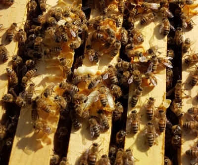 20160116_pupae and burr comb_134800