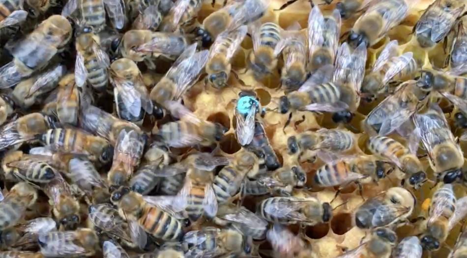 RG Queen bee