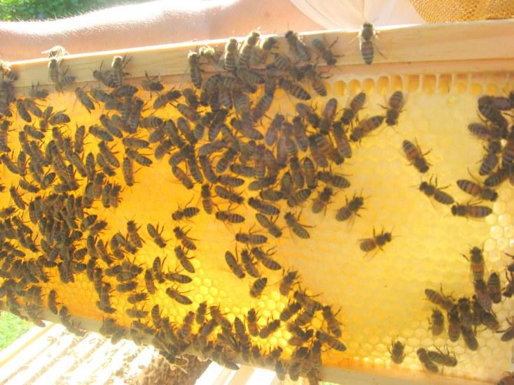 bees on frame of honey