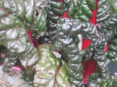 vegetable-chard IMG_0728
