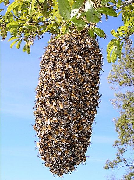 440px-bee_swarm